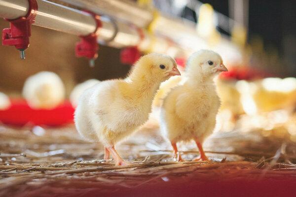 En Allemagne et en France, le broyage des poussins sera proscrit à compter de 2022