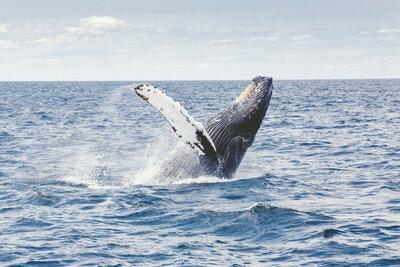 Wally, une jeune baleine grise perdue en Méditerranée