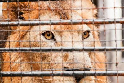 L'Afrique du Sud a décidé de cesser l'élevage des lions en captivité