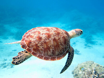 Mayotte: une ONG lutte contre le braconnage des tortues marines