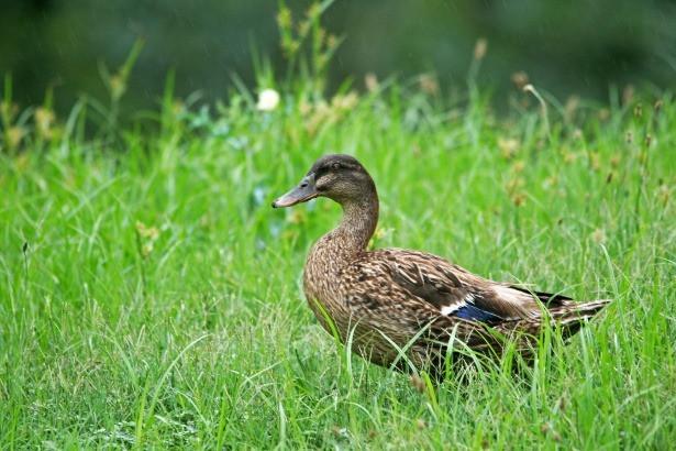 Adopter un canard pour désherber son jardin naturellement et écologiquement