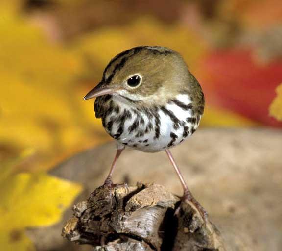 Le réchauffement climatique a un impact sur la taille des oiseaux