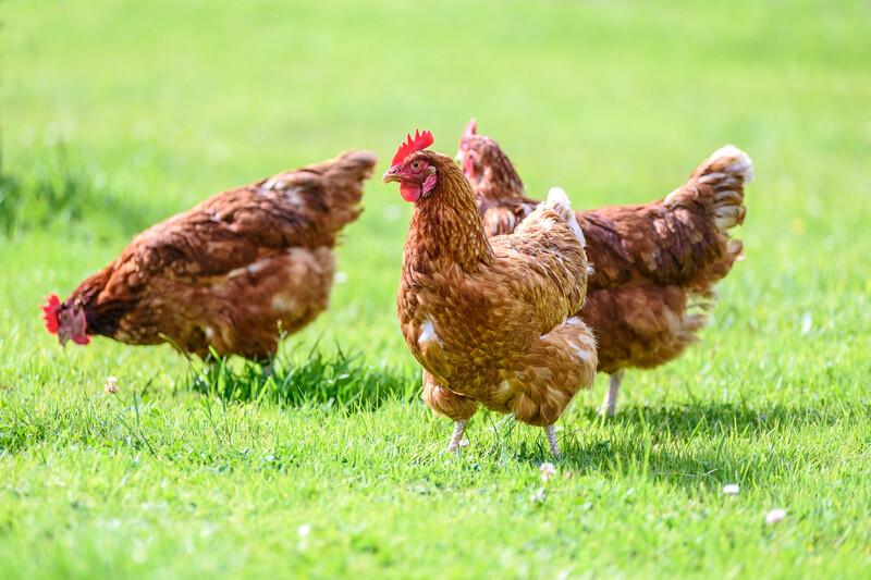 Adopter une poule pour la sauver de l'abattoir et réduire ses déchets