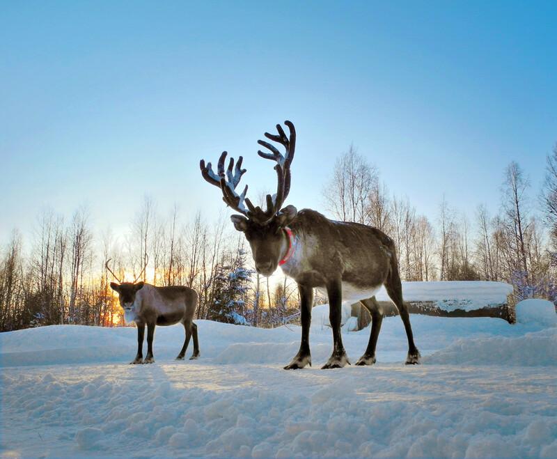 En Laponie, les rennes sont menacés par le réchauffement climatique