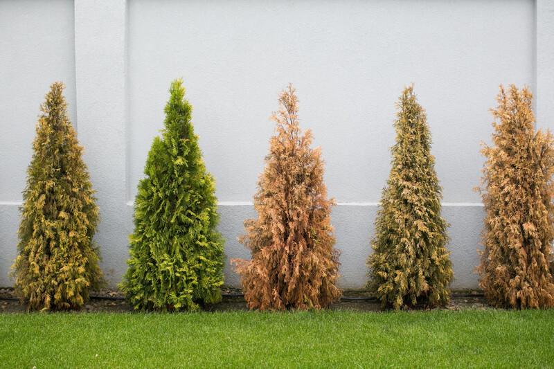 À Lutzelhouse, des sapins roussis installés pour dénoncer l'impact du réchauffement climatique