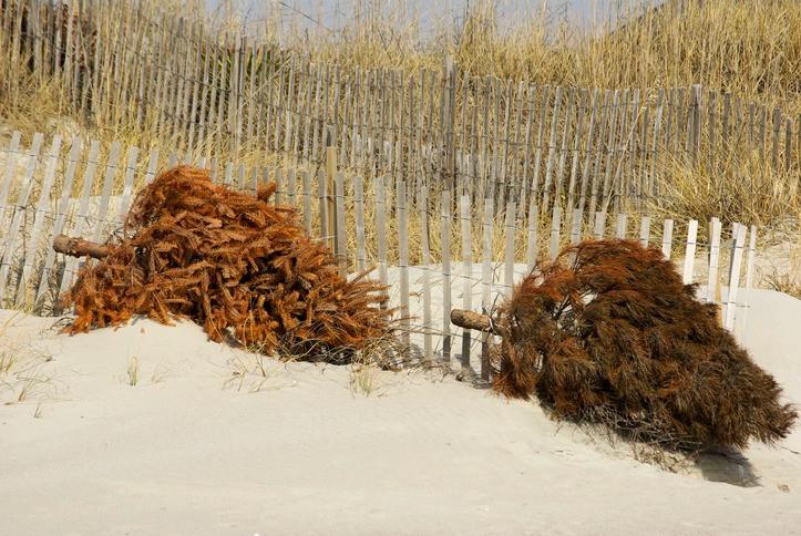 Sur l'île de Ré, les sapins de Noël sont recyclés pour préserver le littoral