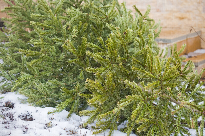 Comment donner une seconde vie à son sapin de Noël ?