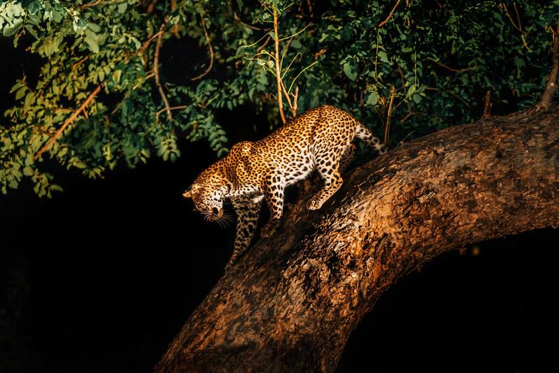 Certains mammifères diurnes deviennent nocturnes à cause de l'Homme