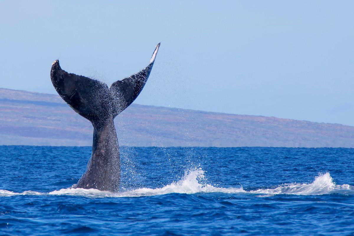 Réchauffement climatique : Les baleines capturent plus de CO2 que les arbres