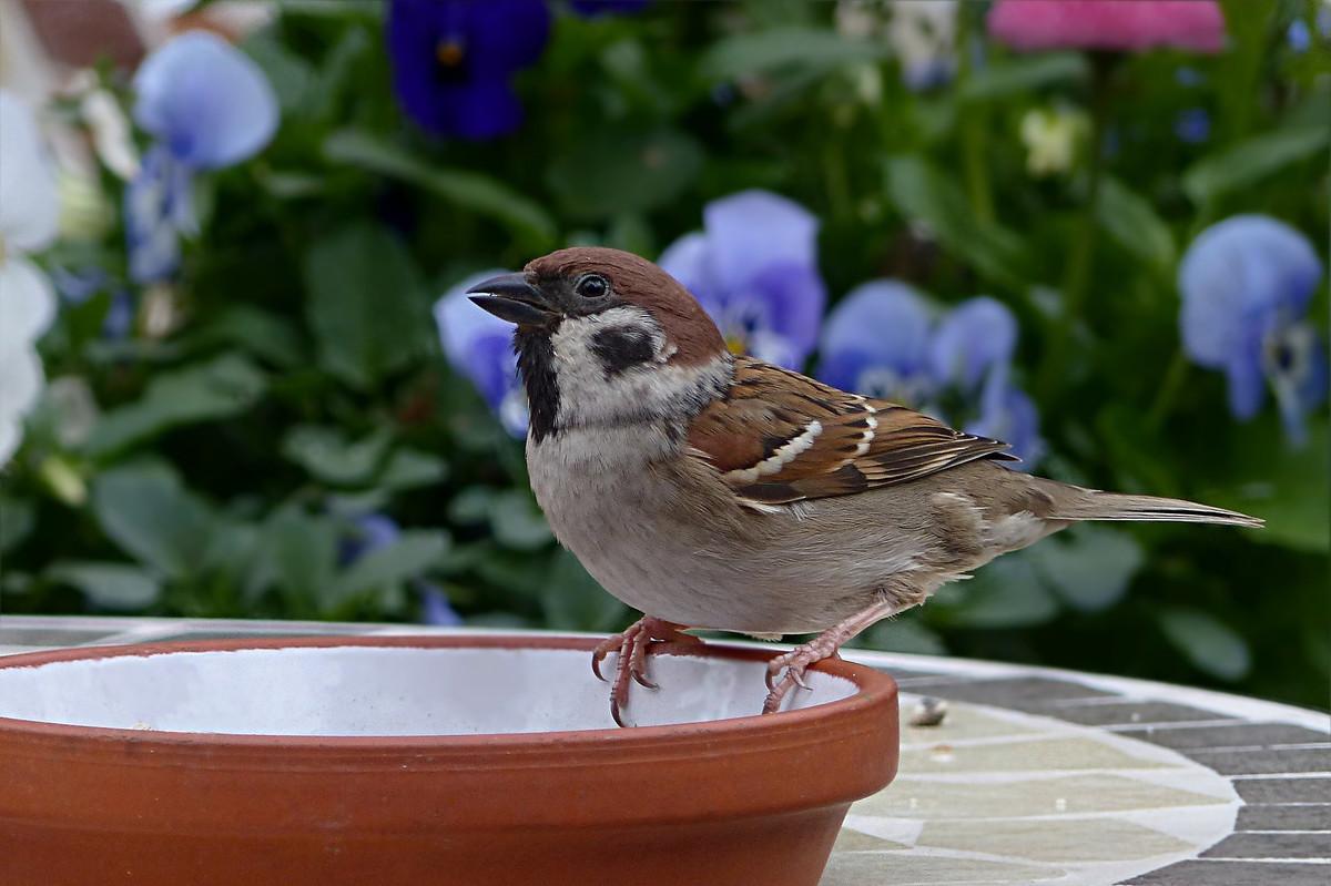 Comment participer au comptage des oiseaux durant le confinement?