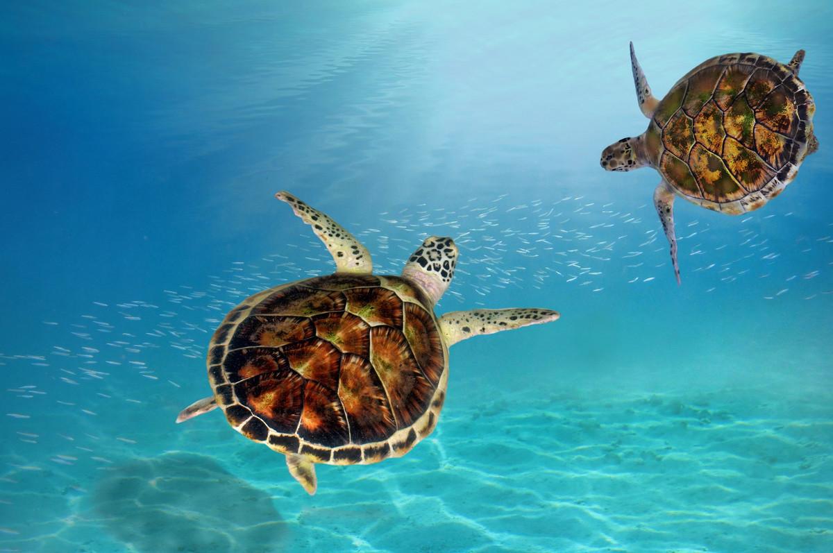 97 tortues imbriquées naissent sur une plage brésilienne grâce au confinement