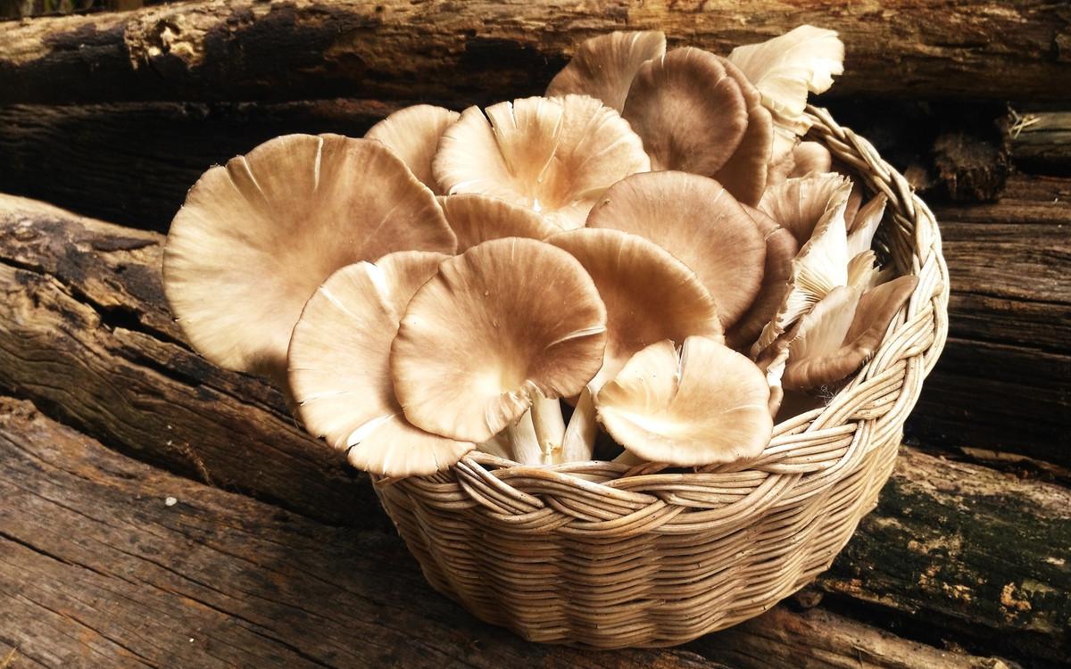 La «boîte à champignons» fait pousser des pleurotes dans du marc de café recyclé