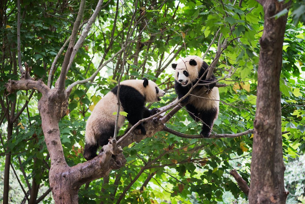 Des pandas s'accouplent pour la première fois en 10 ans à Hong Kong grâce au confinement