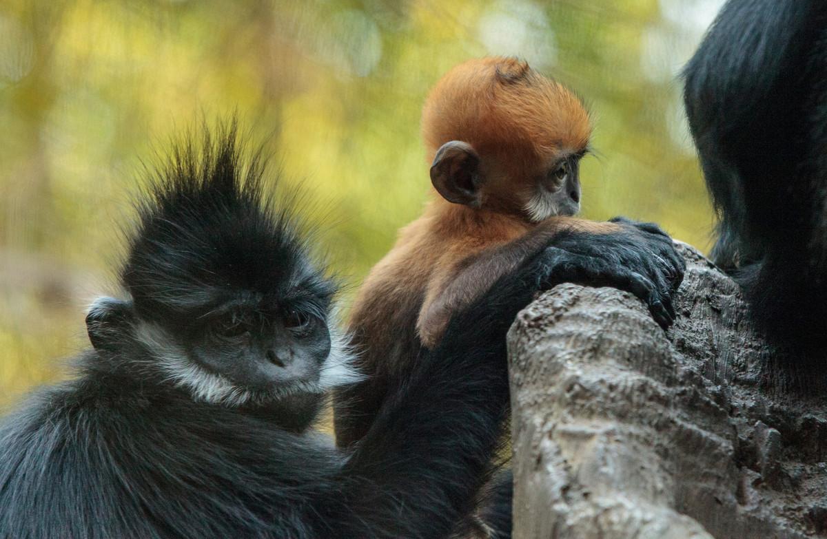 La naissance exceptionnelle d'un Langur de François au Jardin zoologique de Besançon
