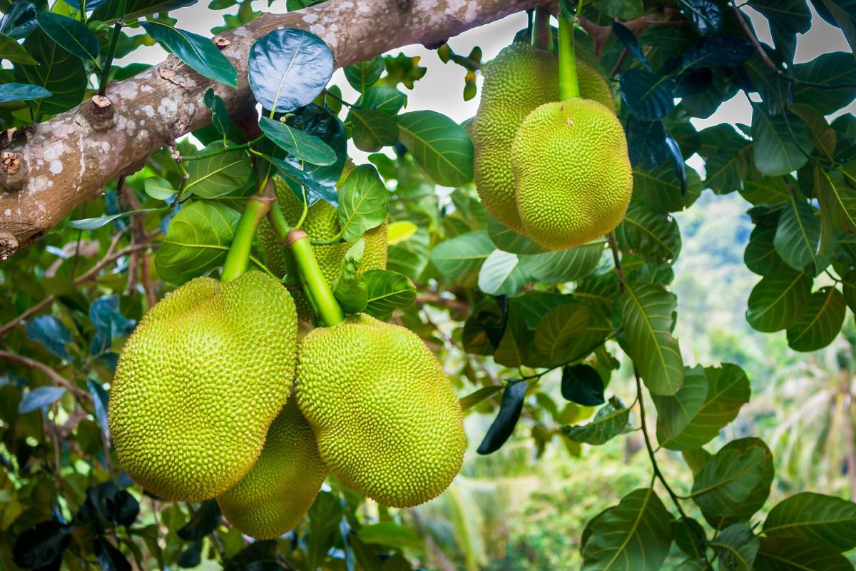 Le fruit du jacquier, une alternative à la viande peu connue