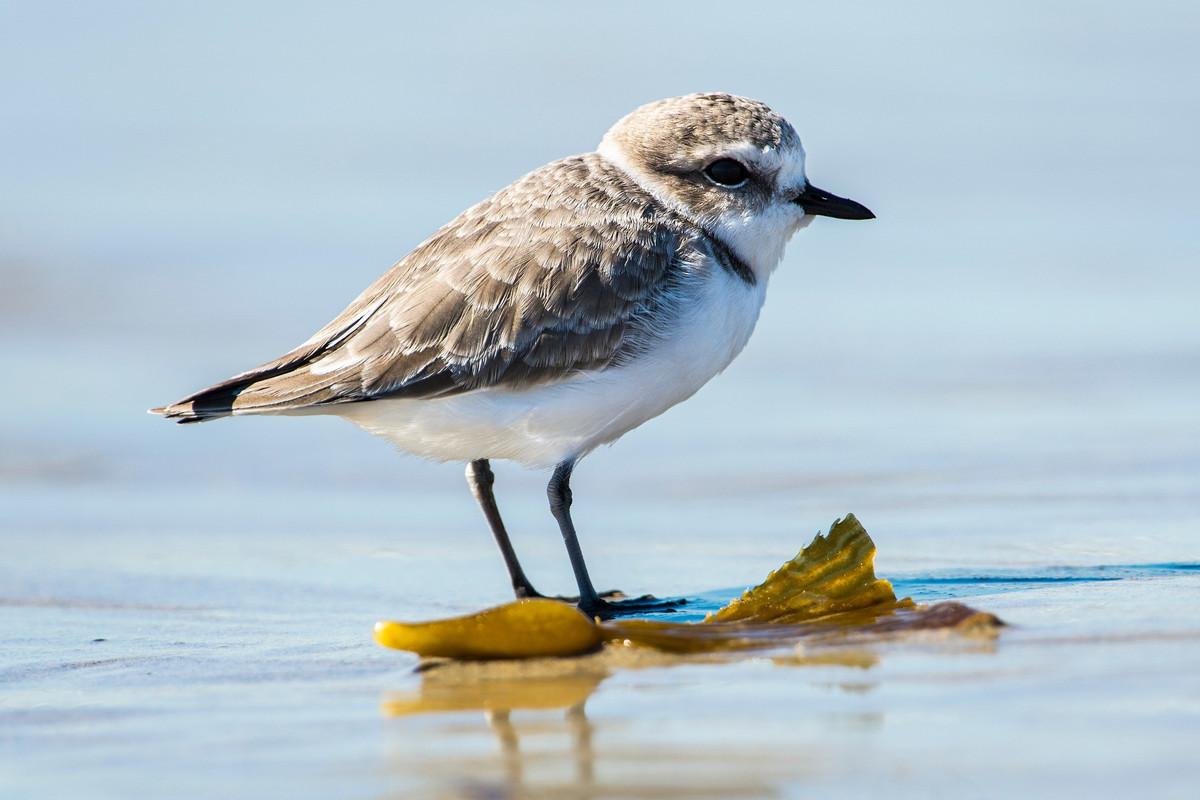 À Fouesnant, des plages resteront fermées tout l'été pour protéger des espèces rares d'oiseaux