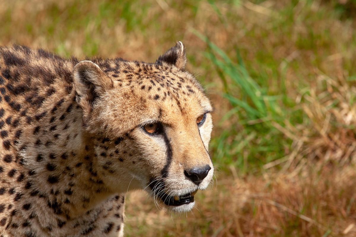 Le guépard du Sahara réapparaît en Algérie pour la première fois depuis 10 ans