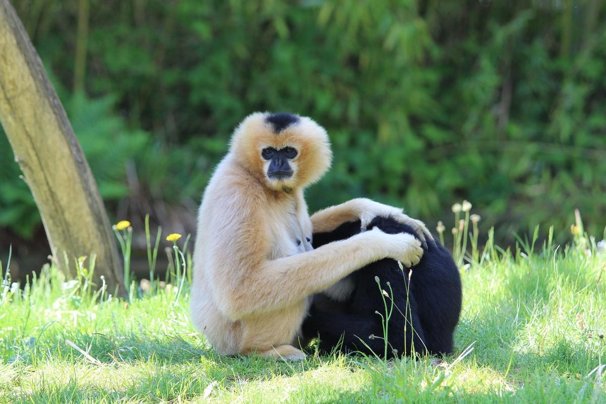 Gibbons de Hainan: des signes encourageants pour cette espèce en danger d'extinction
