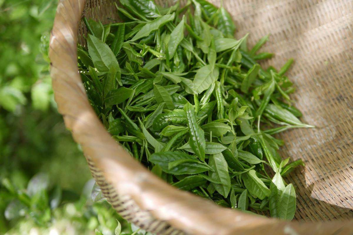 DIY : Comment cultiver du thé chez soi?