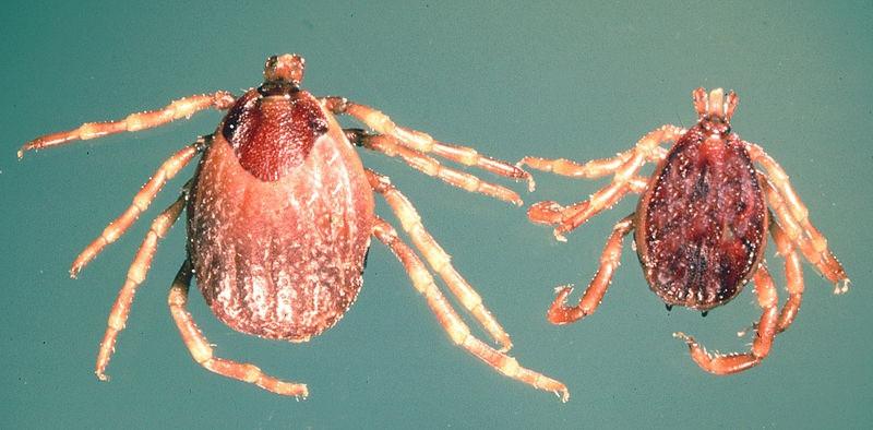 L'Hyalomma marginatum, une tique dangereuse pour l'Homme qui prolifère dans le sud de la France
