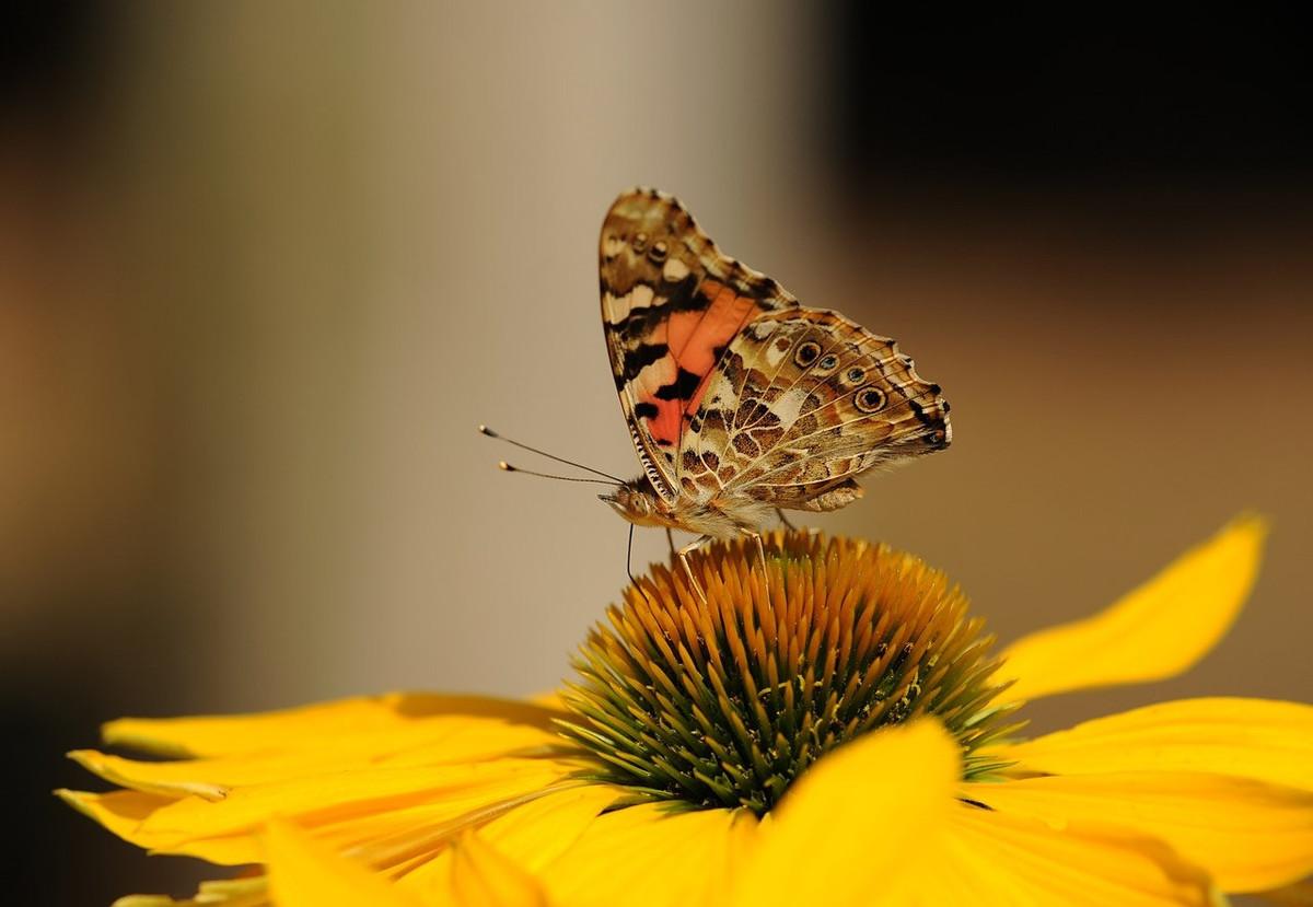 10 fleurs à planter dans son jardin pour nourrir les papillons