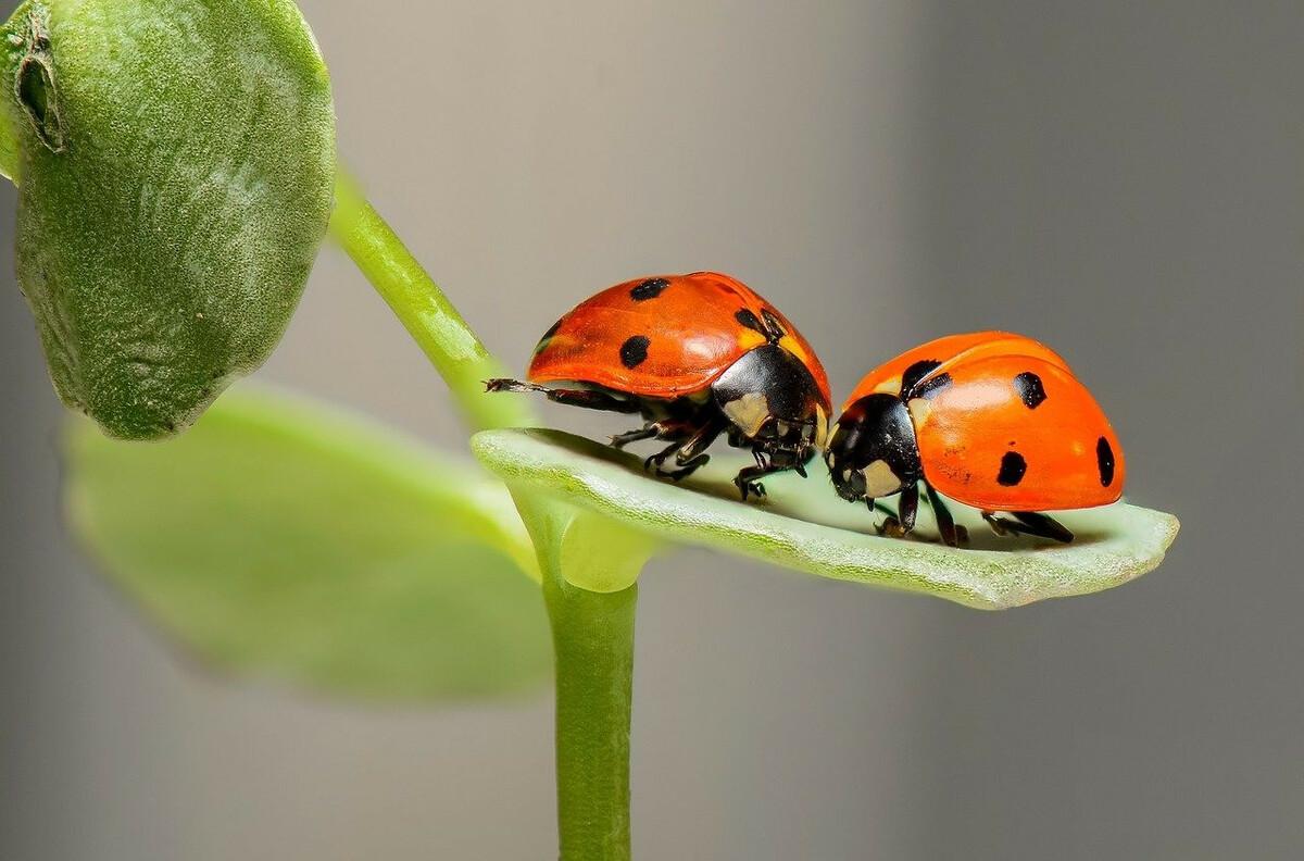 Coccinelles: 3 astuces pour les faire venir dans son jardin