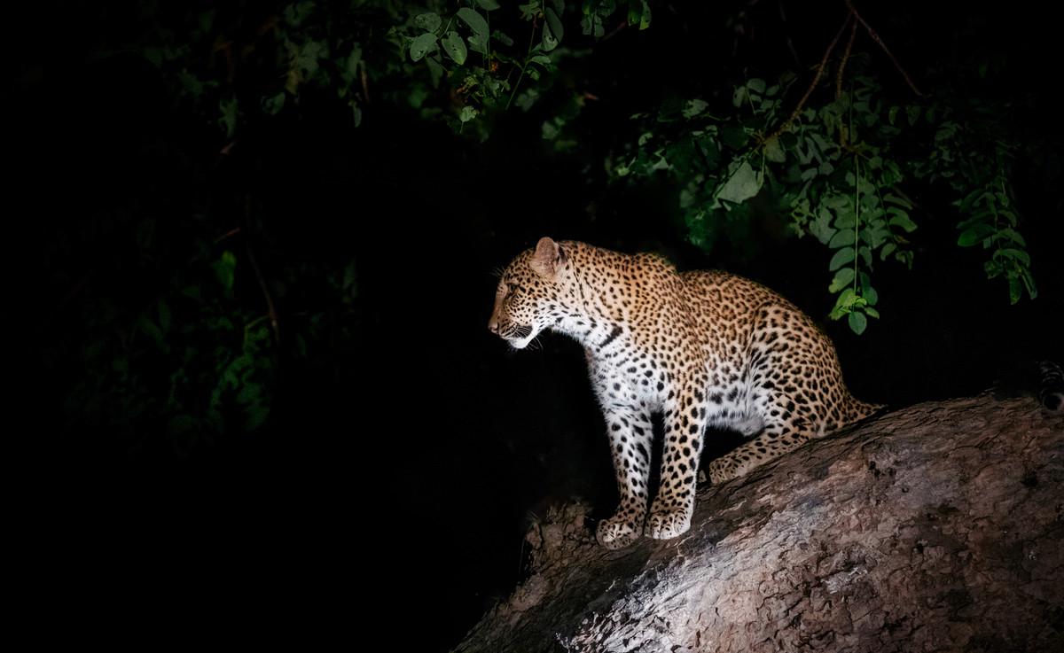 Léopard la nuit