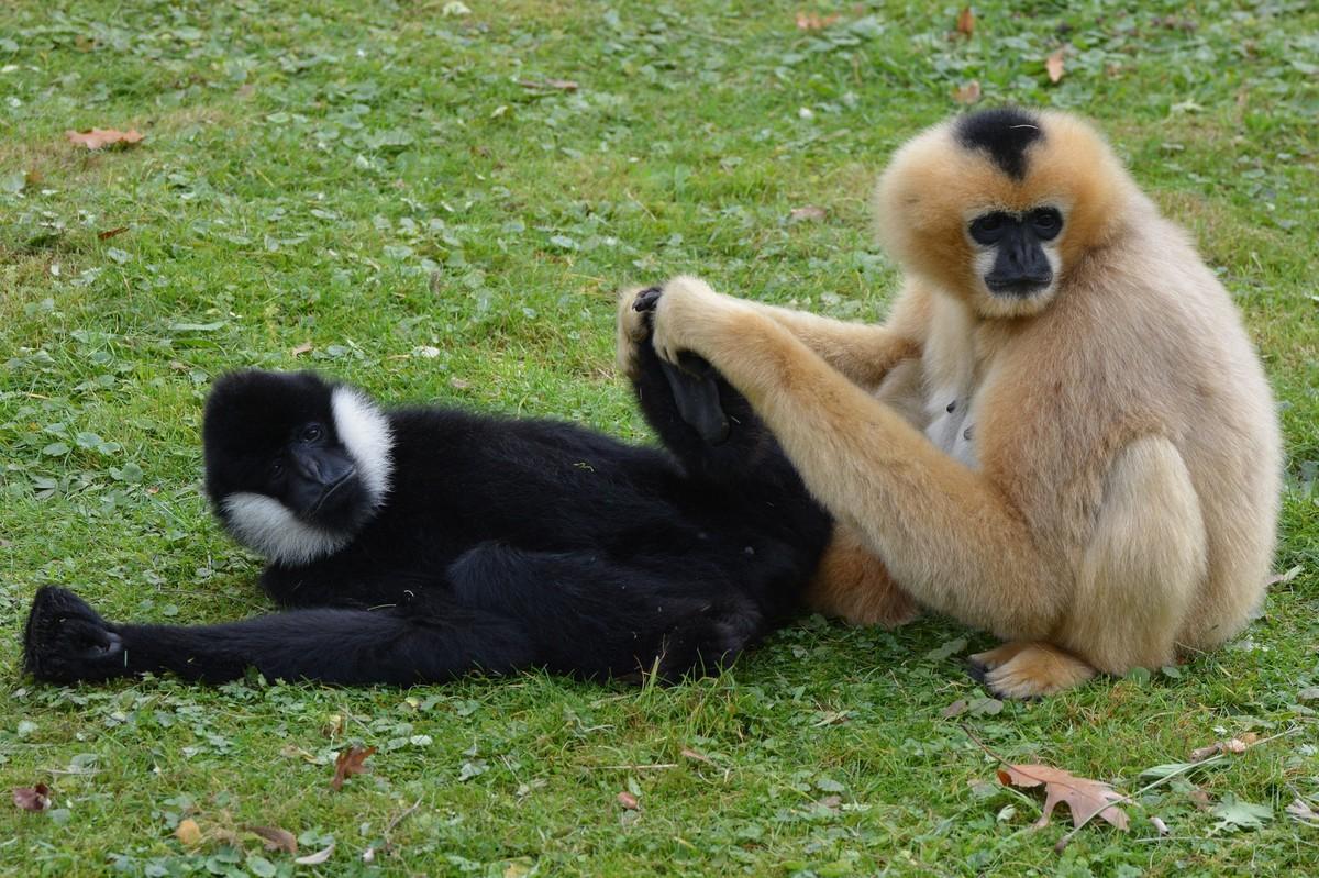 Gibbons de Hainan