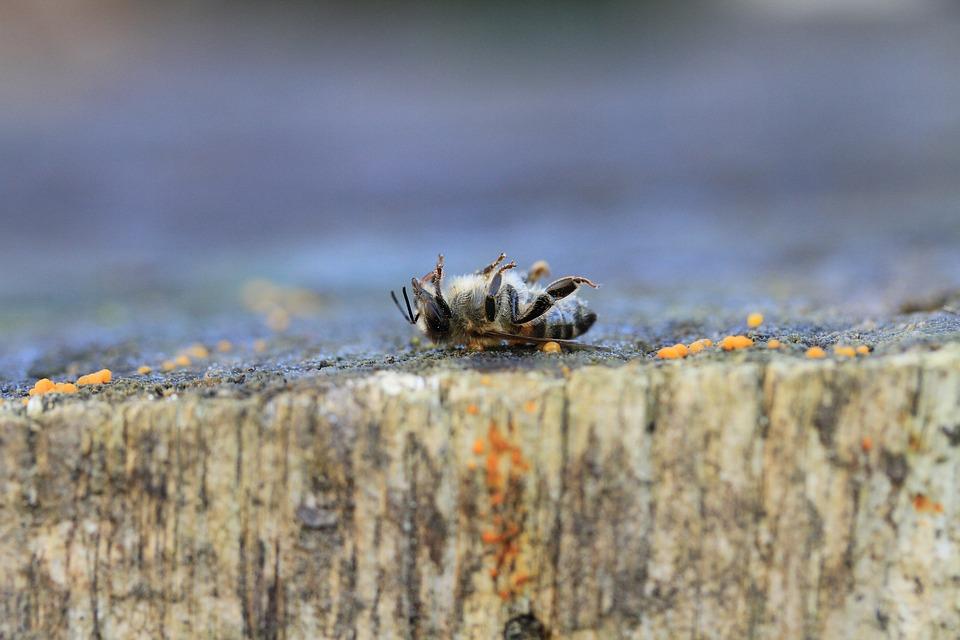 Effets des pesticides sur les abeilles