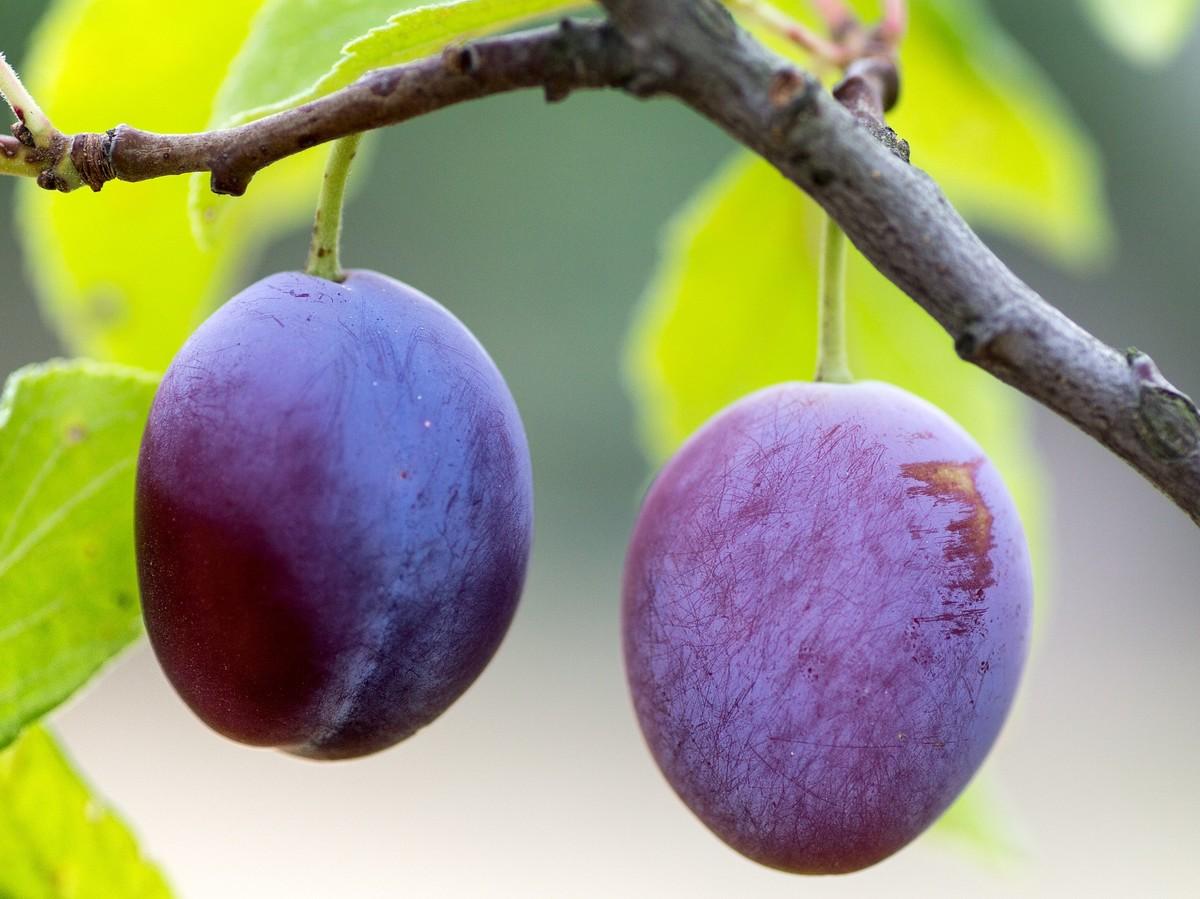 Faire repousser des prunes